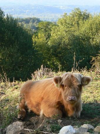veau highland