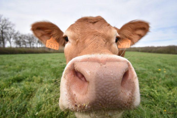 Earl du Trève – Elevage Durand, viande bovine – Le Montellier